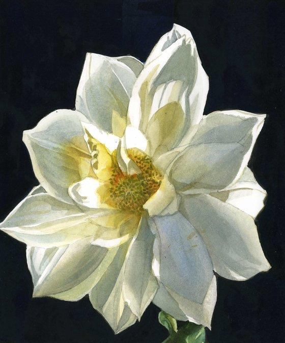 midnight dahlia watercolor floral