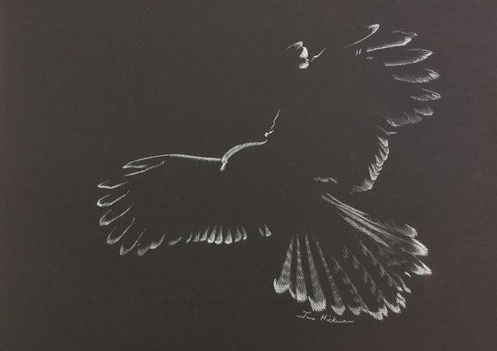 Harris Hawk - Landing