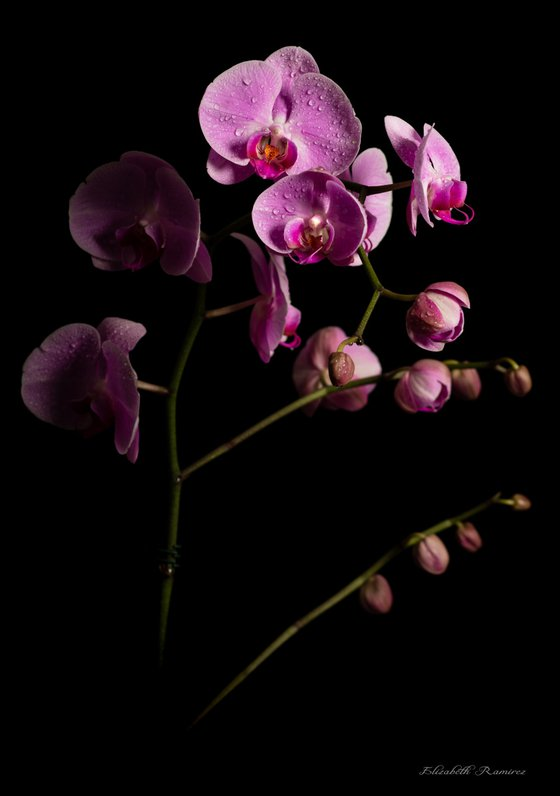 Orchids Emerging from Darkness Limited Edition