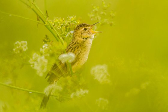 Photography   Birds   Locustella naevia