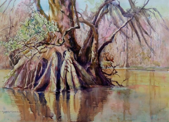 Cypress in the Wakulla