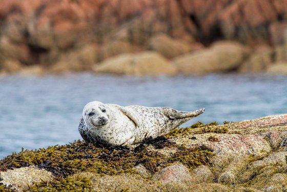 Animals, Mammals - Very cute Seal puppy, Isle of Mull, Scotland, UK