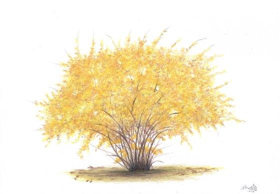 Forsythia Bush Colored Pencil Drawing