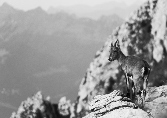 Young Ibex in the Chablais Alps [Framed; also available unframed]
