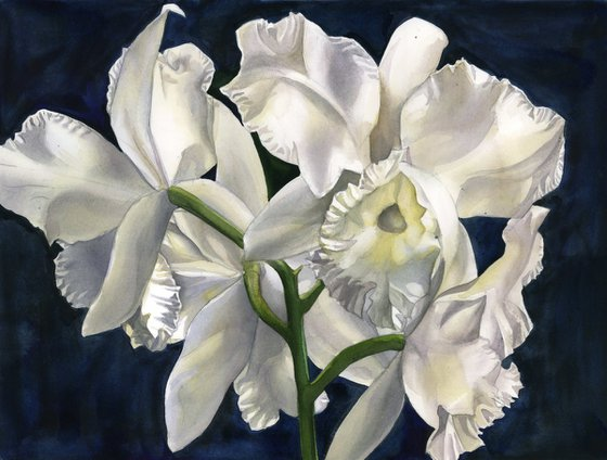 white cattleya orchid with blue