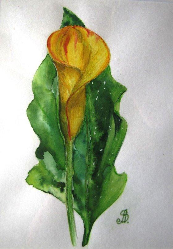 Calla flower #2