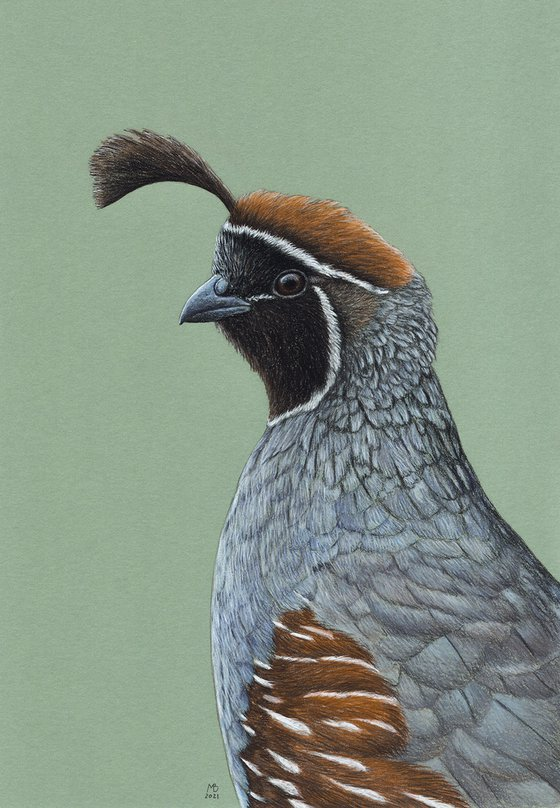 "Original pastel drawing bird ""Gambel's quail"""