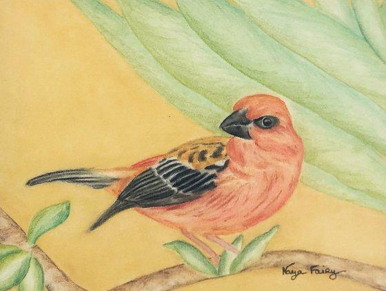 The red fodi, emblematic bird of Madagascar.