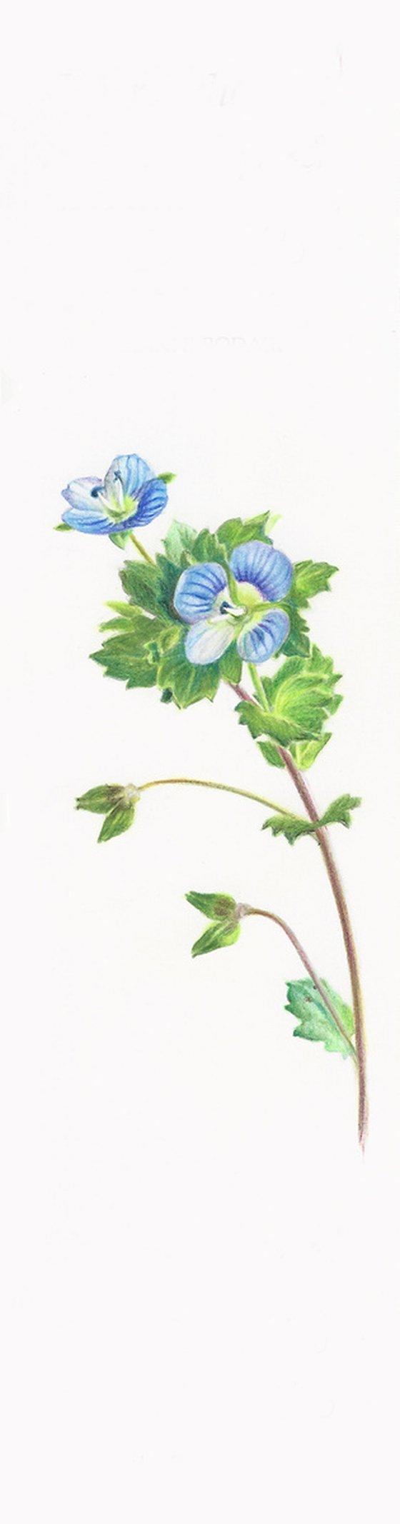 Birdeye Speedwell - from my Wildflowers Bookmarks Collection