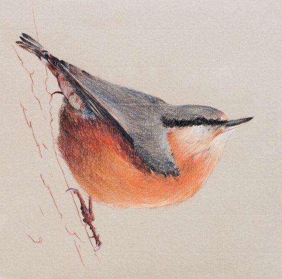 Nuthatch - British Garden Bird