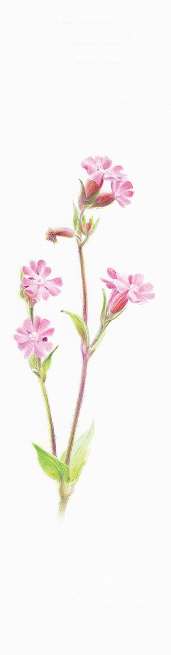 Wild Geranium - from my Wildflowers Bookmarks Collection
