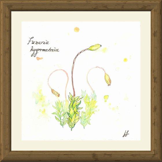 Funaria hygrometrica - Bonfire moss - Plant Study #2
