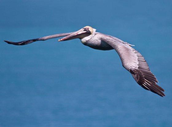 Animals - Birds - Pelican in flight at 7 Mile Bridge, Marathon, Florida, USA