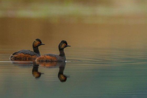 Photography   Birds   Podiceps nigricollis