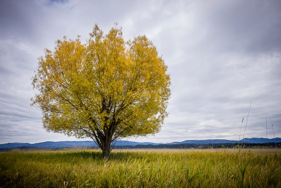 Yellow tree during autumn.