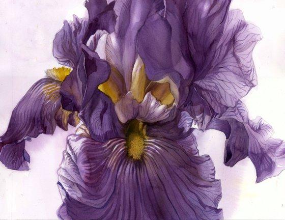 purple iris watercolor floral