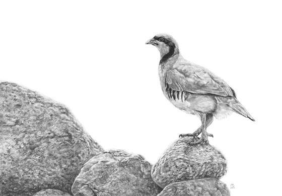 "Original graphite pencils drawing bird ""Chukar Partridge"""