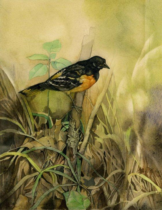 Baltimore oriole watercolor