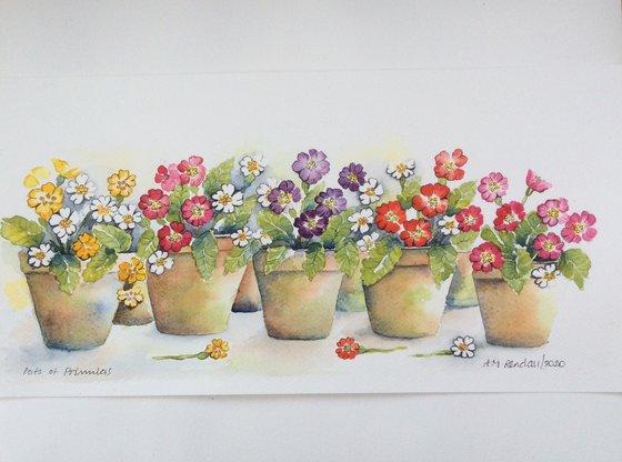 Pots of Primulas