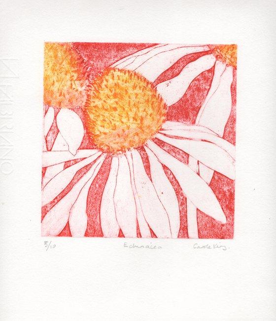 Echinacea 5-10