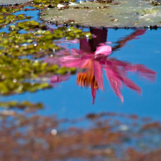 Reflecting on the beauty of a water lily, Port Douglas, Queensland, Australia