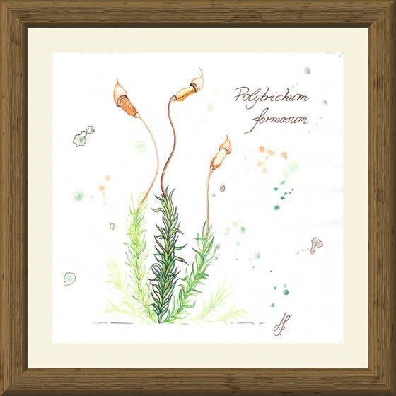 Polytrichum formosum - Beautiful haircap moss - Plant Study #3