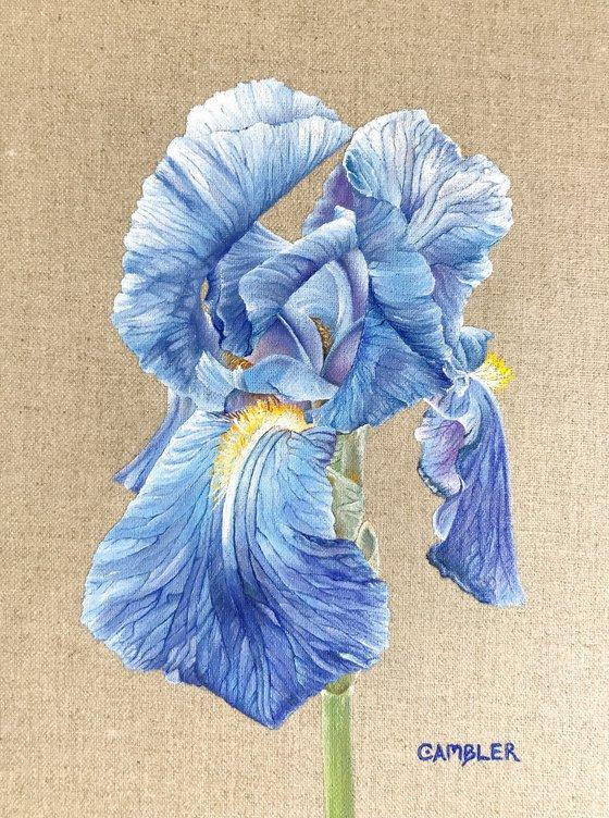 Iris on Linen