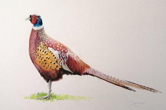 Pheasant profile