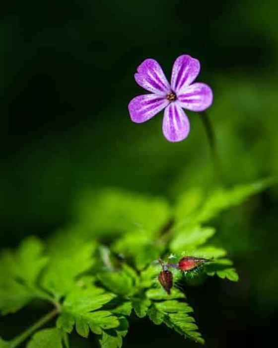 Herb-Robert (Geranium Robertianum)  - Limited Edition Print
