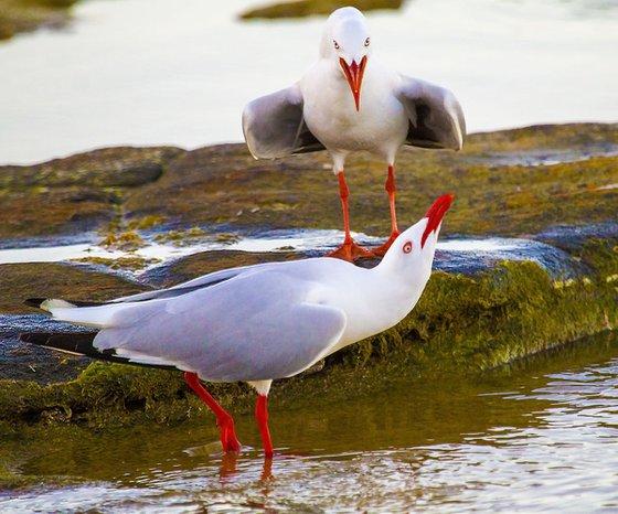 Birds - Squabbling Seagulls, Brisbane, Queensland, Australia