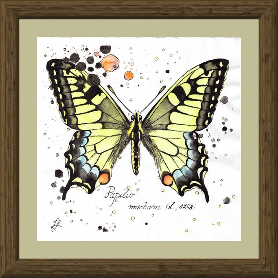 Papilio machaon - Swallowtail Butterfly