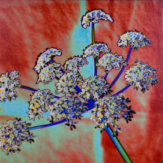 Cow Parsley 001 (2 of 10)
