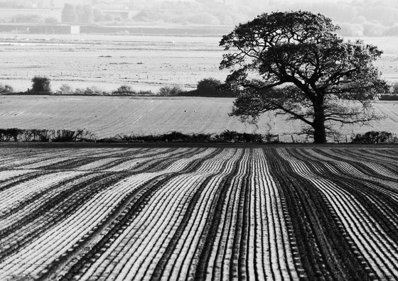 Tree and Ploughed Field [Unframed; also available framed]