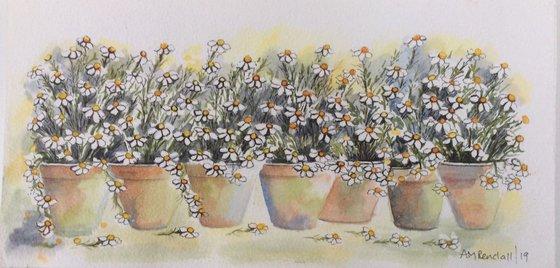 Pots of Daisies