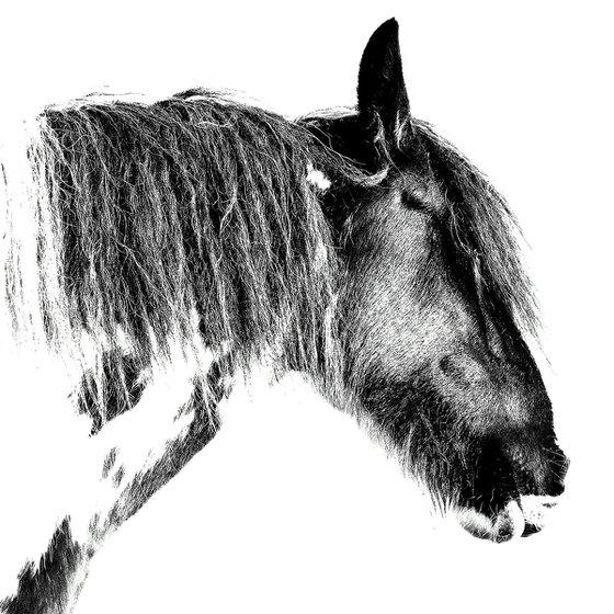 Horse, black and white portrait