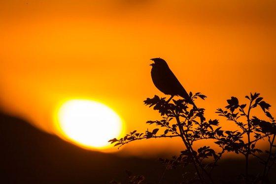 Photography   Birds   Emberiza calandra