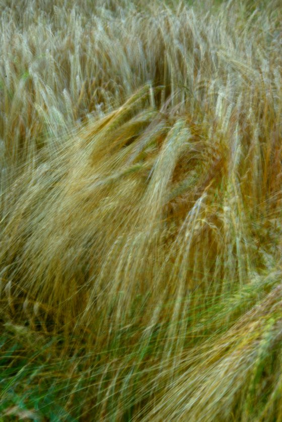 Barley Field, impressionist abstract countryside scene